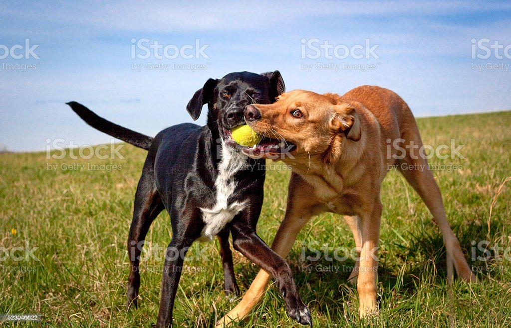 Two cute dogs fighting over control of green tennis ball stock photo