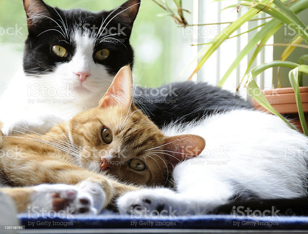 Two Cute Domestic Short Hair cats snuggling stock photo