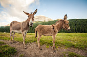 Two cute donkeys in Dolomites, Italy