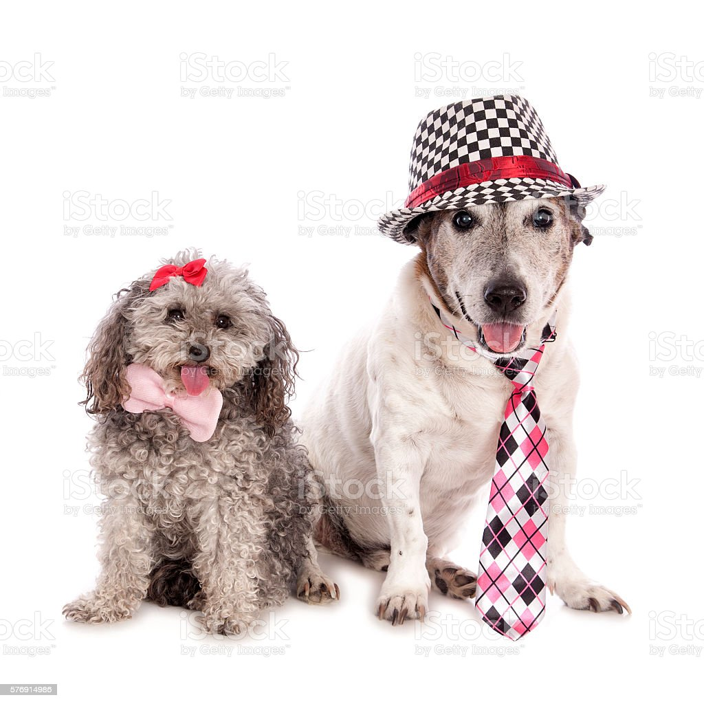 Two Cute Dressed Dogs stock photo