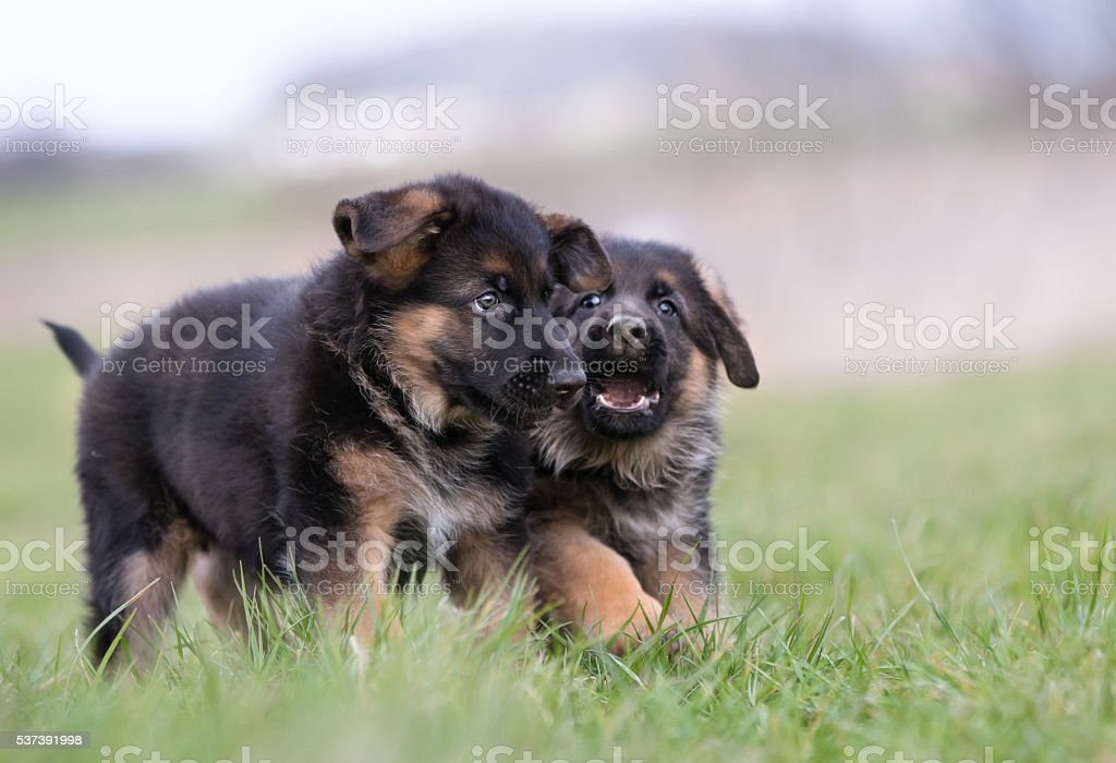 Two Cute German Shepherd Puppies stock photo