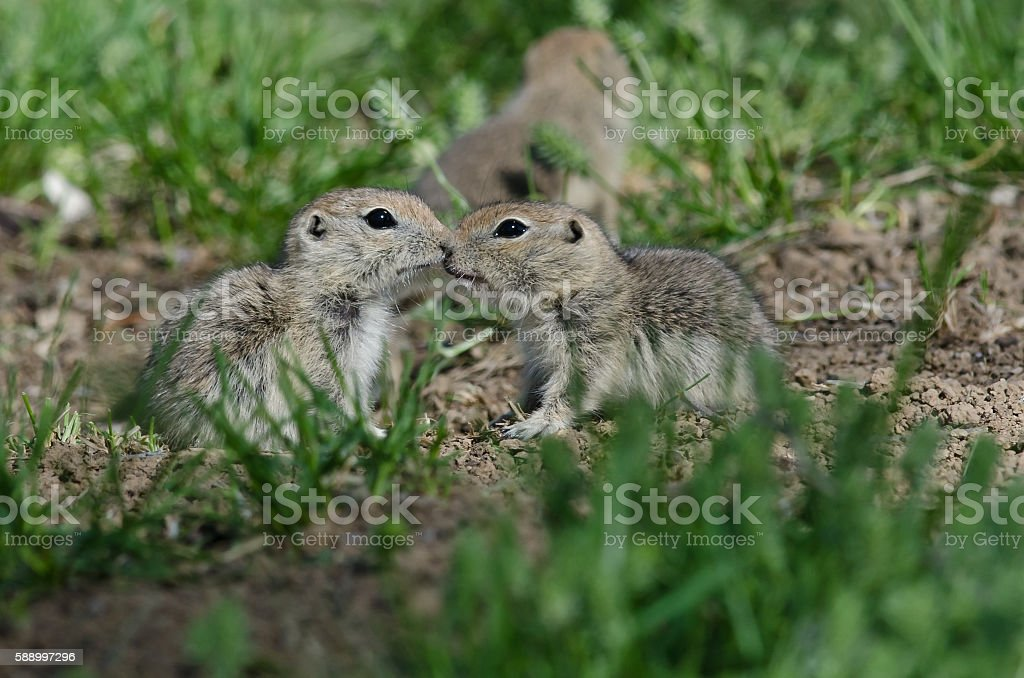 Two Cute Ground Squirrels Sharing a Little Kiss stock photo