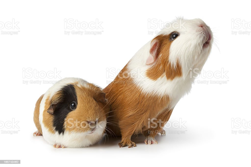 Two cute guinea pigs stock photo