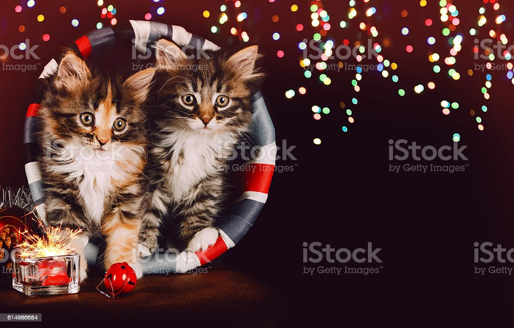 Two cute kittens together with christmas decoration. Black background stock photo
