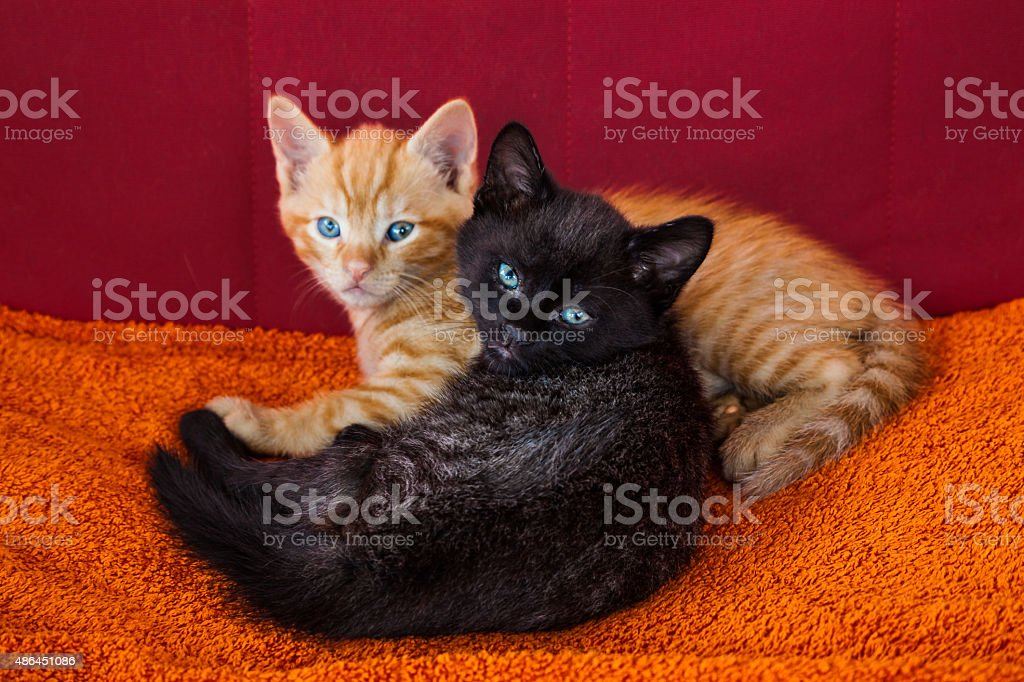 two cute kittens with blue eyes stock photo