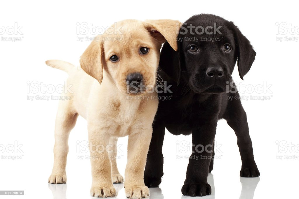 two cute labrador puppies stock photo