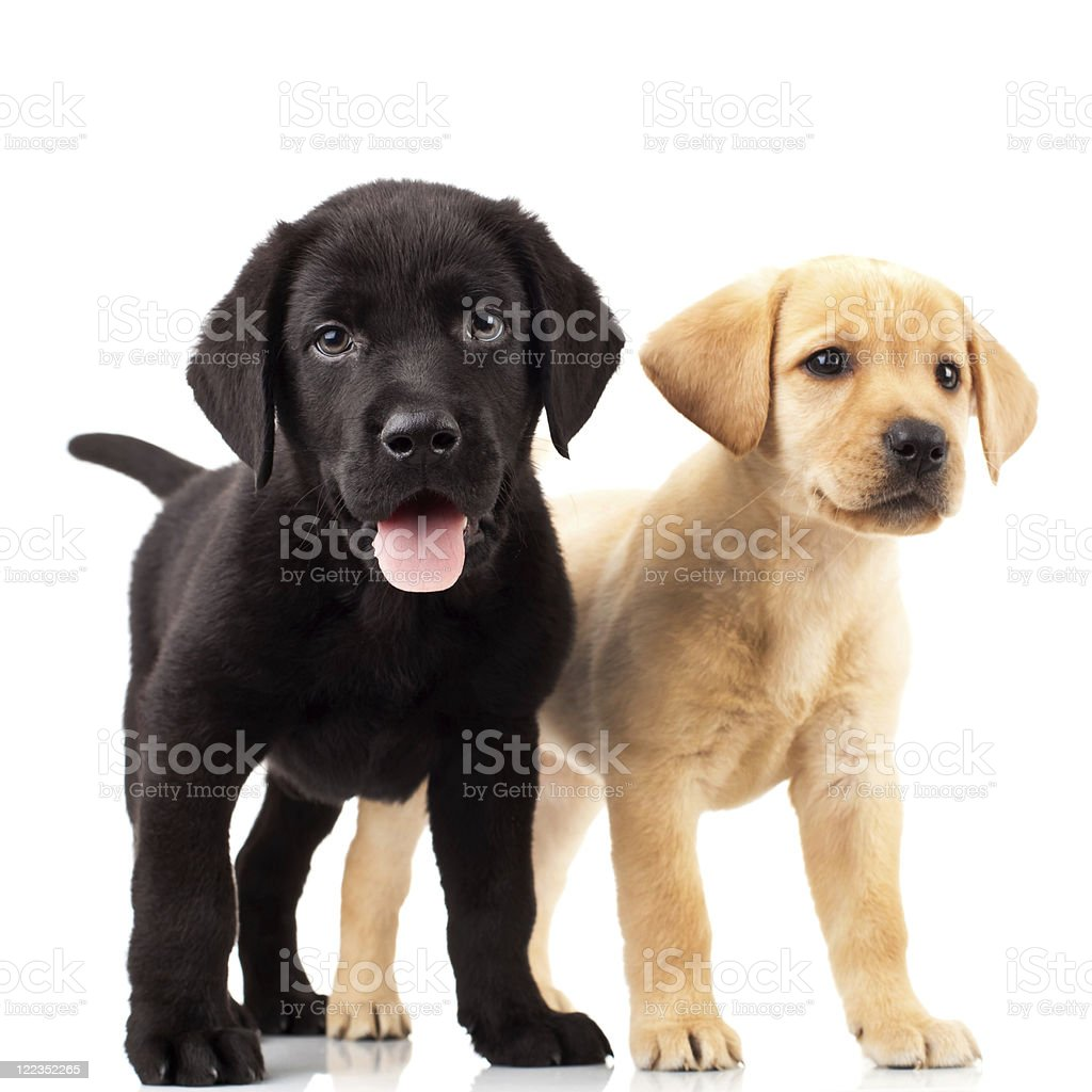 two cute labrador puppies royalty-free stock photo