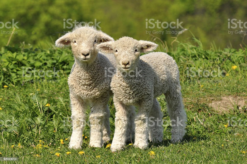 two cute lambs stock photo