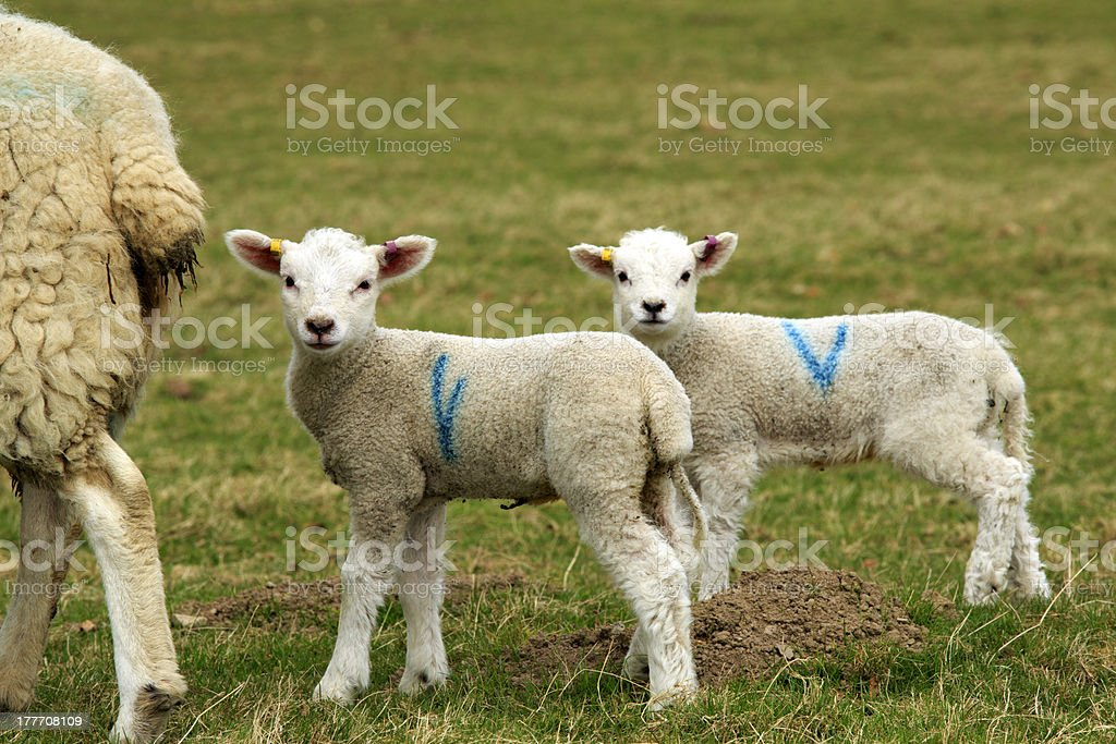 Two cute lambs with mother royalty-free stock photo