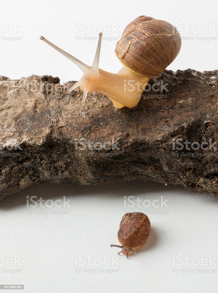 Two cute land snails stock photo