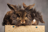 Two cute lion head rabbit bunnys looking at the camera