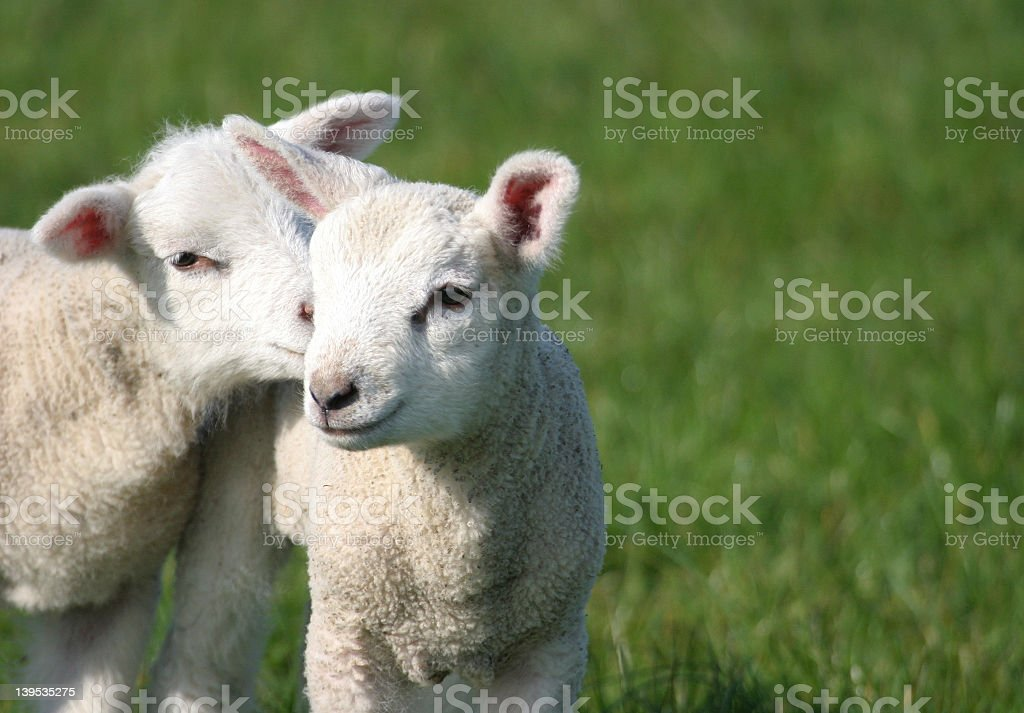 Two cute little lambs together in a green meadow stock photo