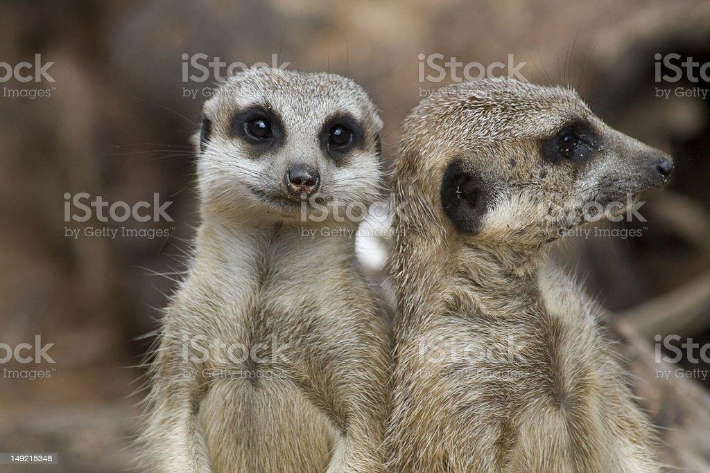 Two cute Meerkats / Suricates stock photo