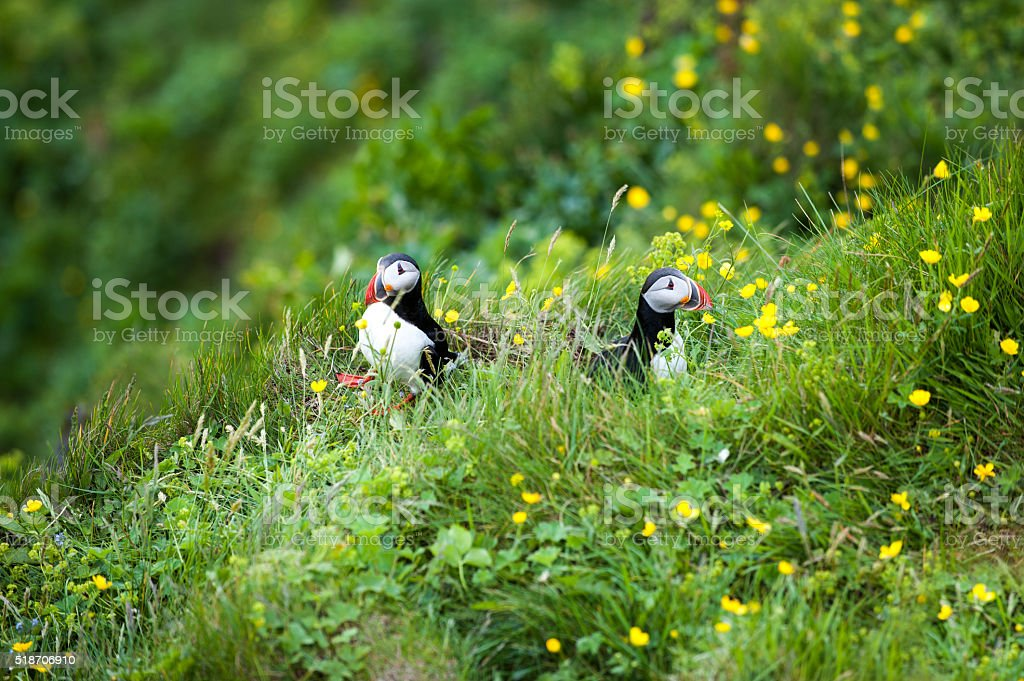Two cute Puffins birds sitting in the flowers, Iceland stock photo