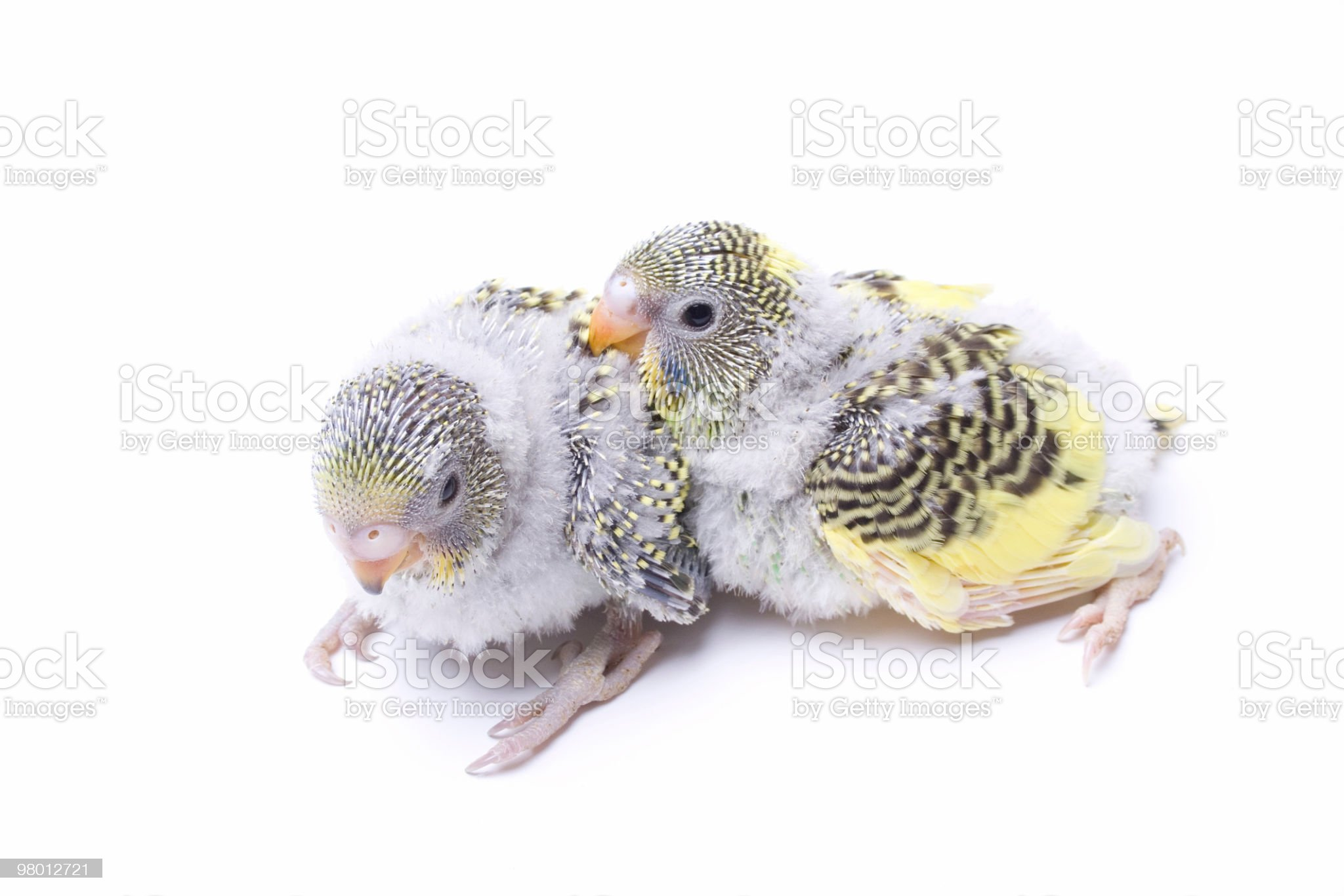 Two cute young budgies chicks royalty-free stock photo