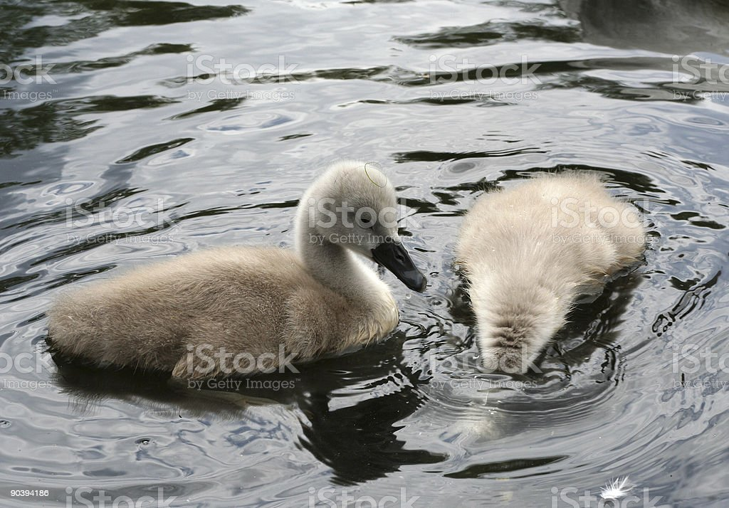Two cygnets royalty-free stock photo