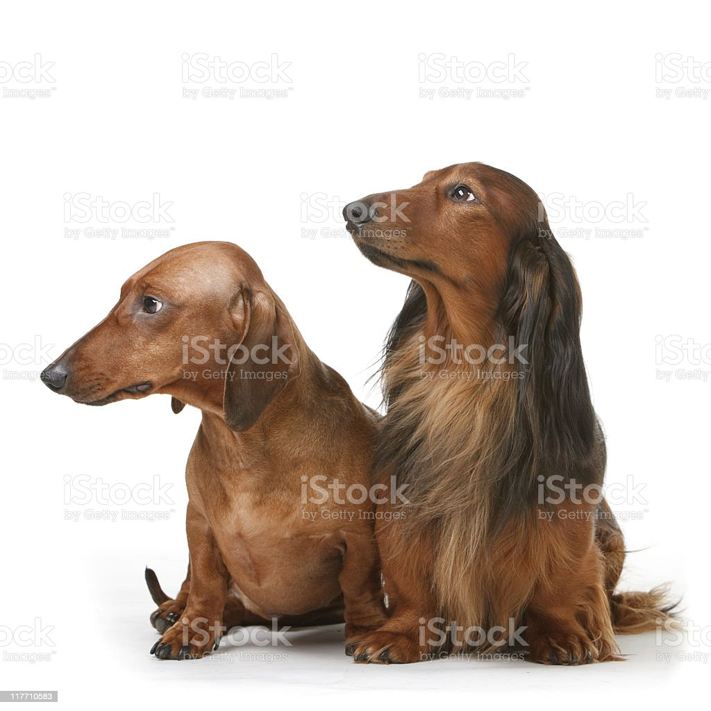 Two Dachshunds, one long haired and another short haired. stock photo