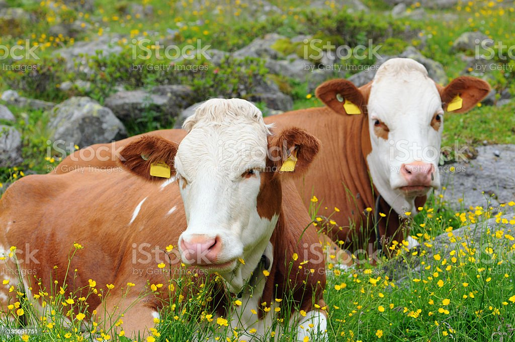 two Dairy Cattle stock photo