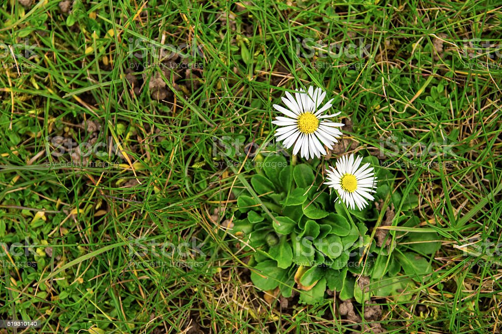 two daisies in the grass from above, lawn weed flowers stock photo