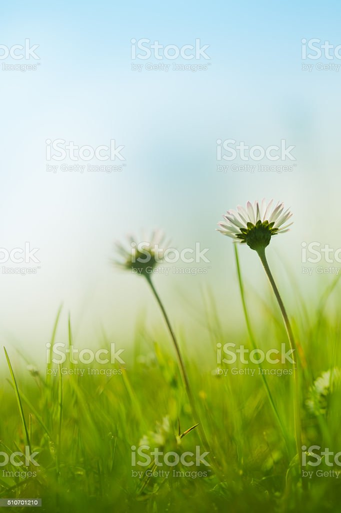 Two daisies on a sunny day stock photo