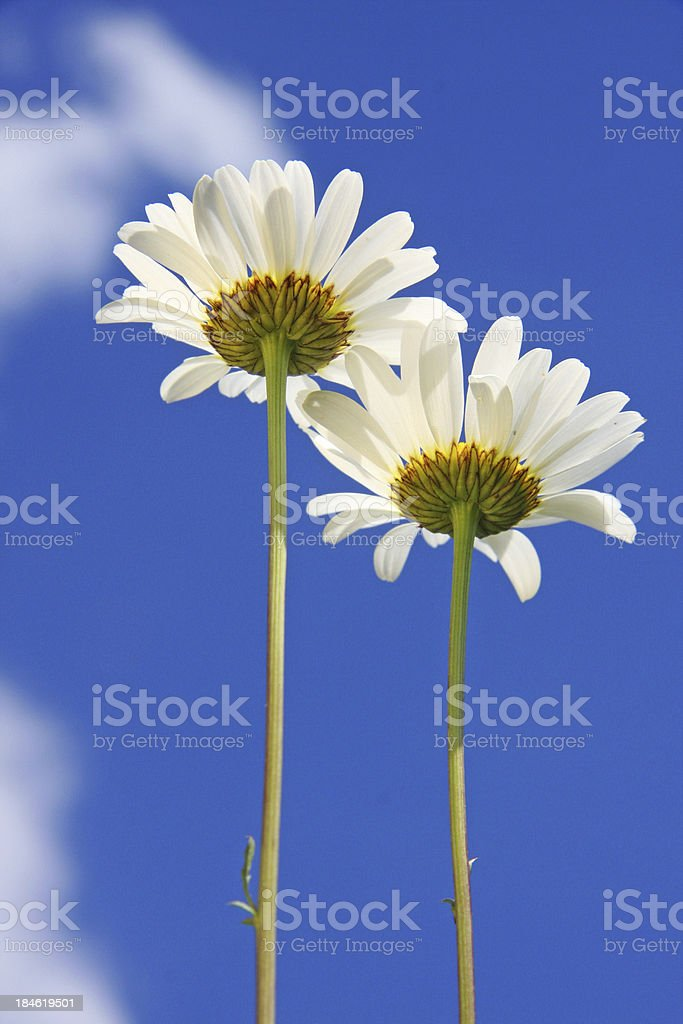 Two Daisies royalty-free stock photo