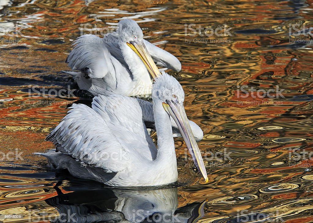 Two dalmatian pelican royalty-free stock photo