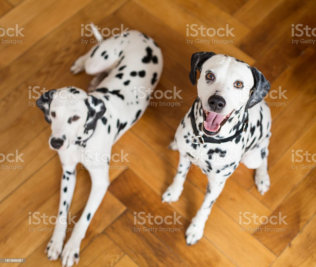 Two dalmatians looking up royalty-free stock photo