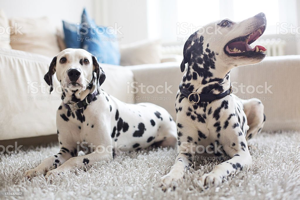 Two Dalmatians relaxing at home royalty-free stock photo
