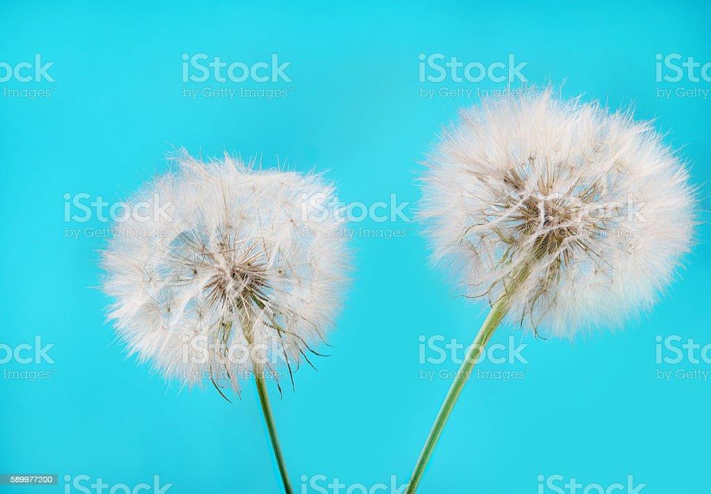 Two dandelion .sky blue background. stock photo
