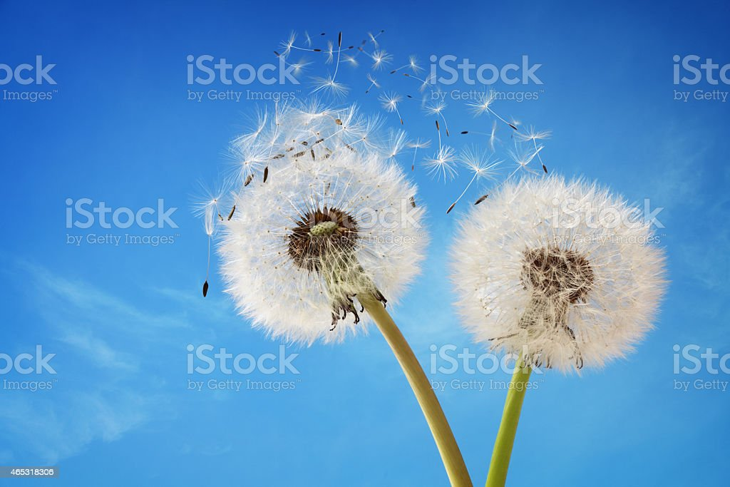 Two dandelions blowing in the wind with a blue sky stock photo