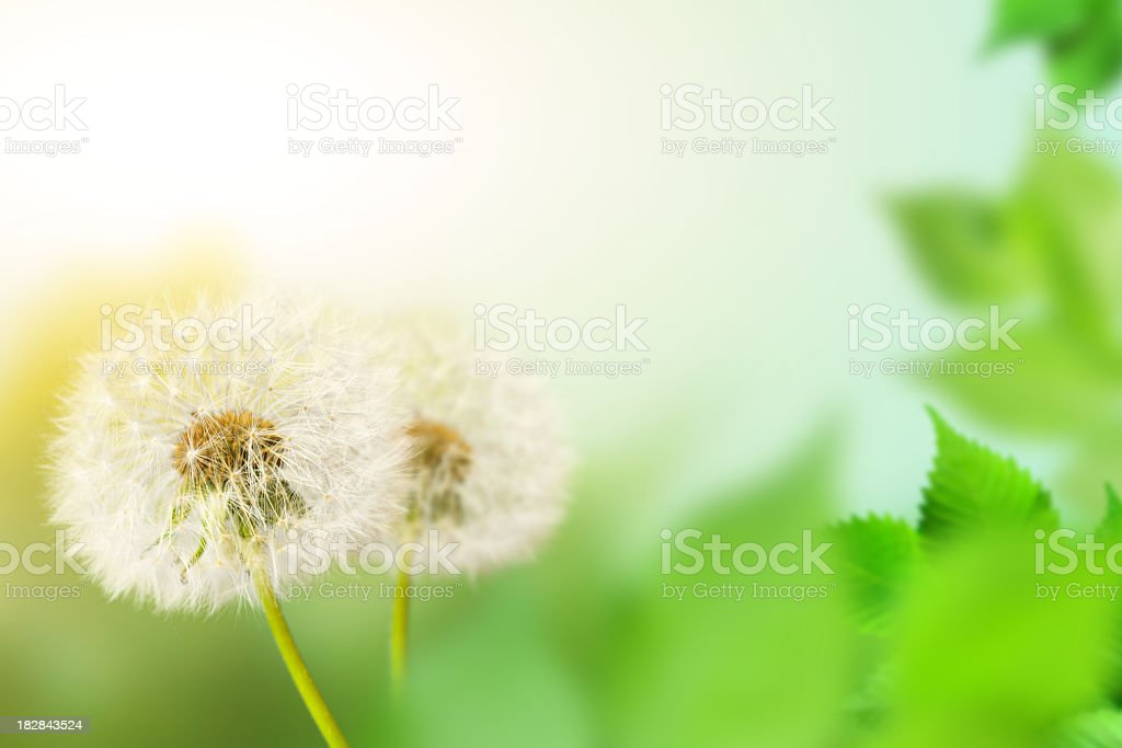 Two dandelions on defocused background royalty-free stock photo
