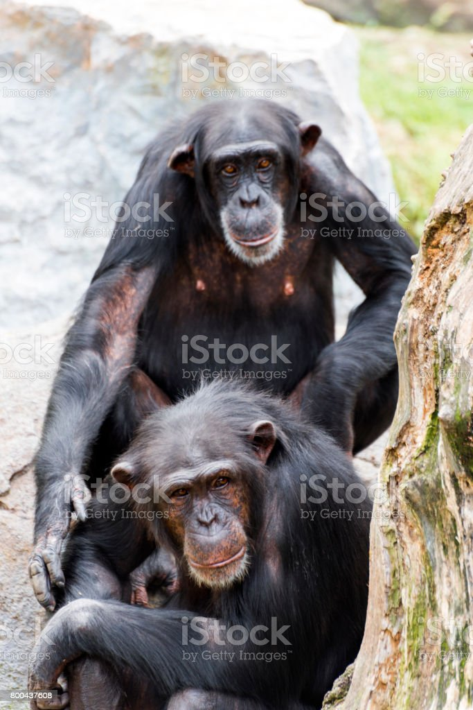 Two dark brown chimpanzees enjoying a day in the wildlife stock photo