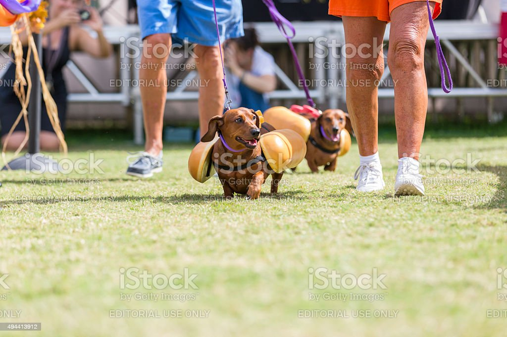 Two Daschshund Dressed as Hot Dogs Walk the Runway stock photo