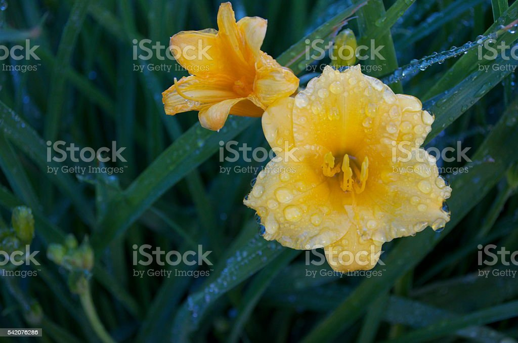 Two day lilies after the morning sprinkler - off centre stock photo