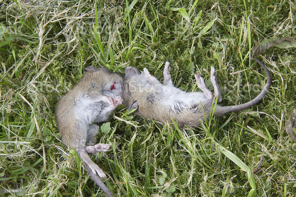 Two dead mice in grass after being caught by cat royalty-free stock photo