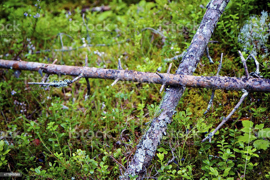 Two dead pinetrees in the forest, Russia, Russian north, Karelia royalty-free stock photo