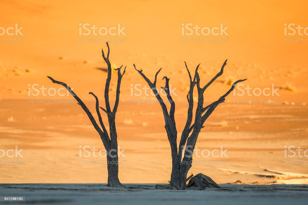 Two dead trees on a salt pan stock photo