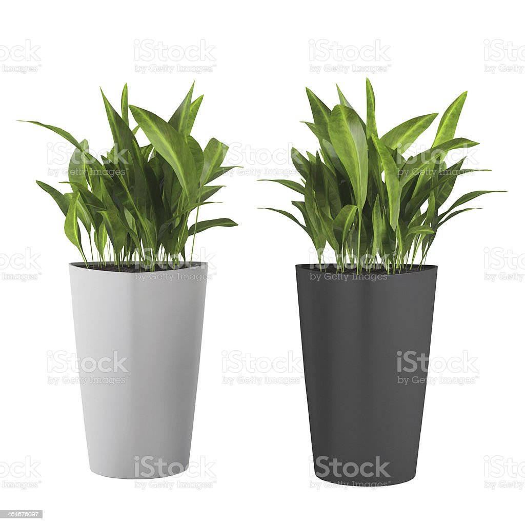 Two decorative grass plants in white and black pots stock photo