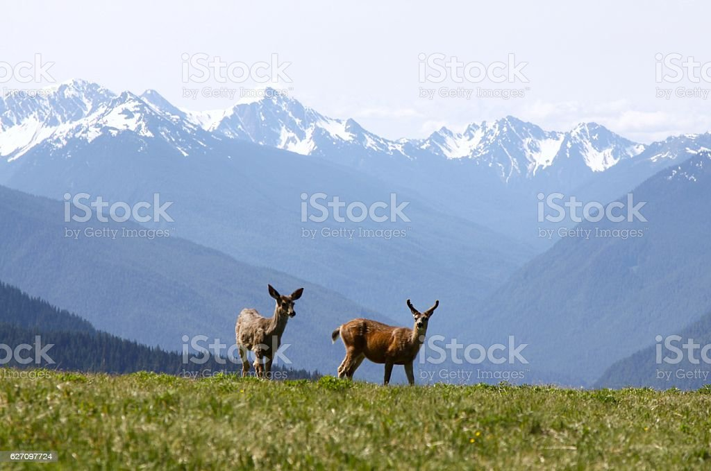 Two Deer At Hurricane Ridge stock photo