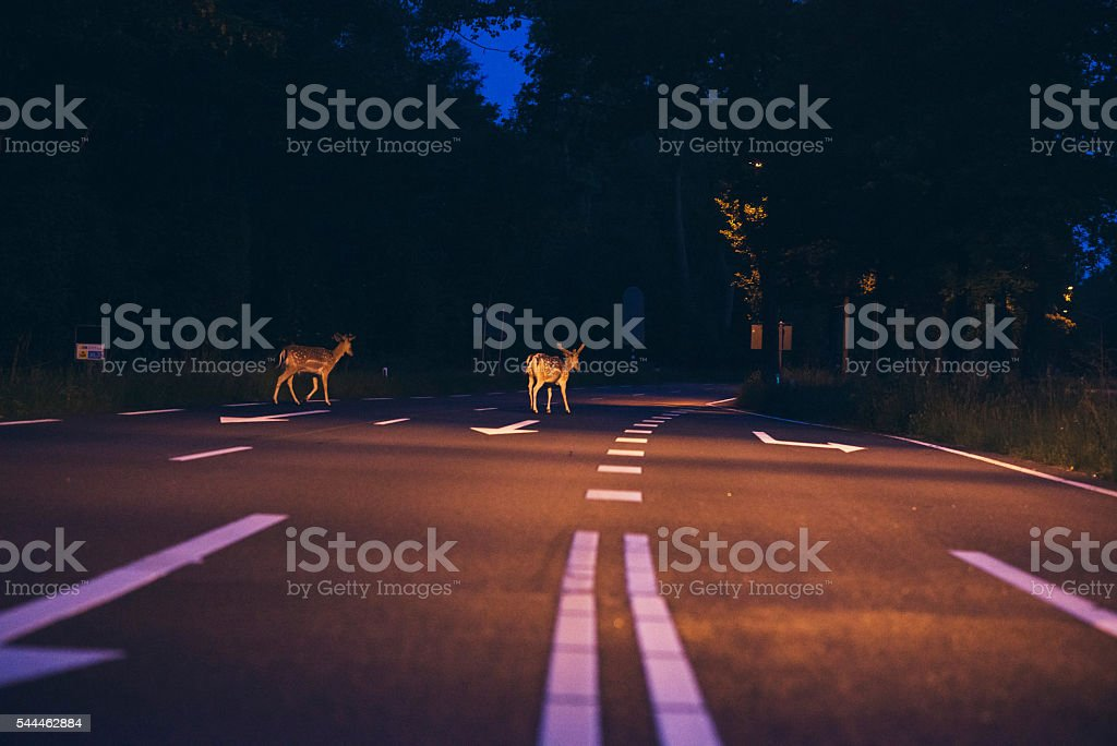 Two deer crossing the road at dawn stock photo
