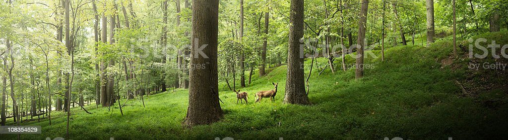Two deer in the forest stock photo