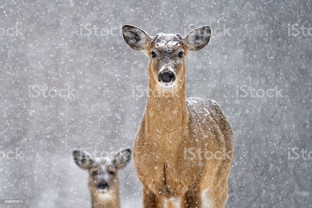 Two deer in the snow stock photo