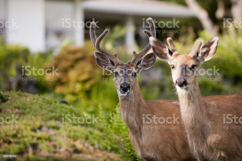Two deer outside of house royalty-free stock photo