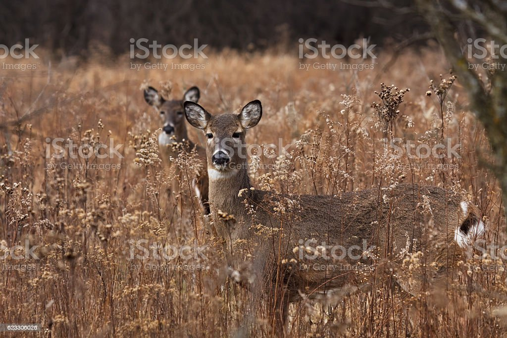 Two deer posing in the woodlands stock photo