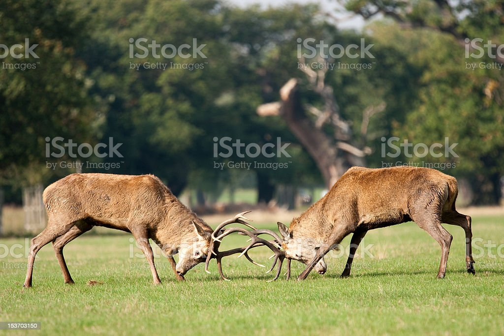 Two deer stags fighting with antlers stock photo