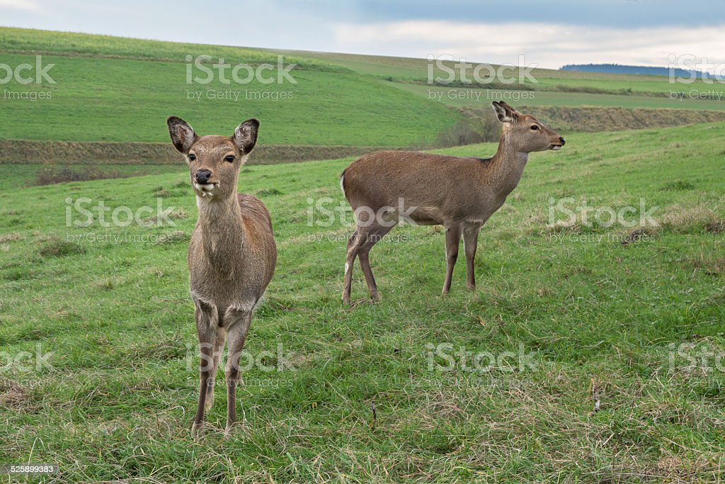 Two deers royalty-free stock photo