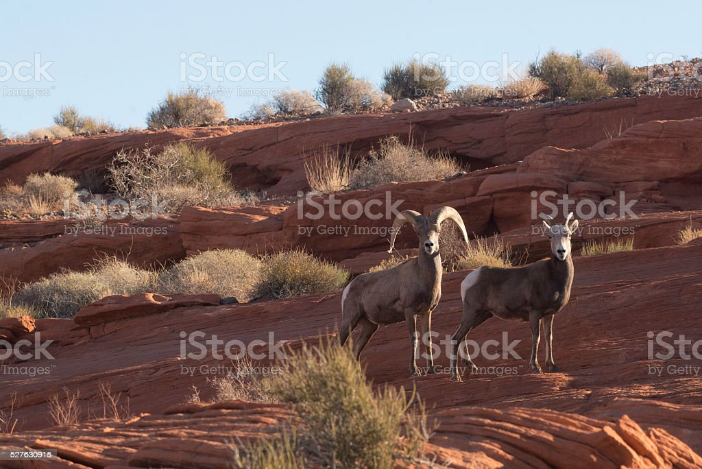 Two Desert Bighorn Sheep  (Ovis canadensis nelsoni) stock photo