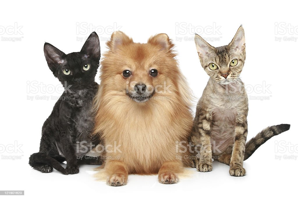 Two Devon Rex cats and Spitz dog stock photo