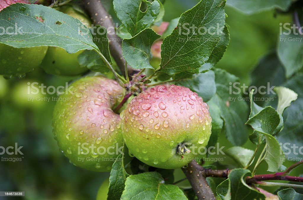 two dewy fresh apple on tree branch in garden royalty-free stock photo