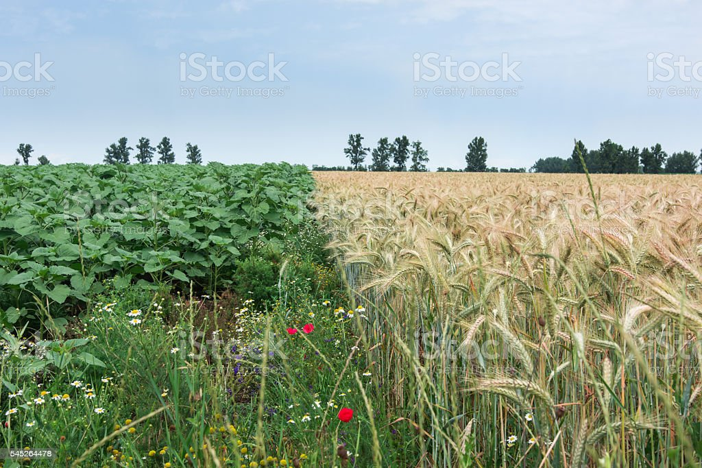 Two different cultures, wheat and sunflowers, same hope for the stock photo